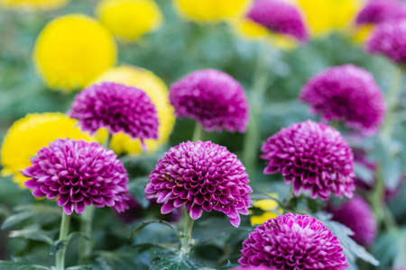 Pompom chrysanthemums flower in the garden at sunny summer or spring day. Stok Fotoğraf