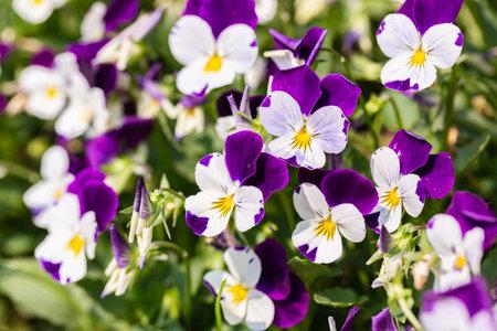 Viola flower in the garden at sunny summer or spring day. Stok Fotoğraf