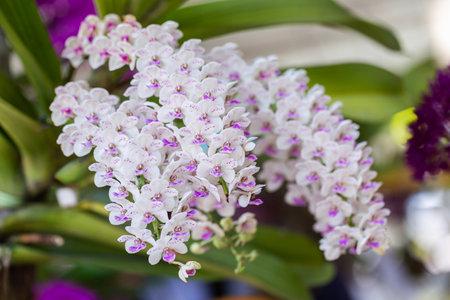 Orchid flowers in the garden. Rhynchostylis Orchidaceae.