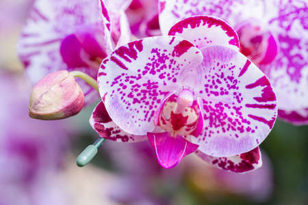 Orchid flowers in the garden. Phalaenopsis Orchidaceae. Stok Fotoğraf - 160328023