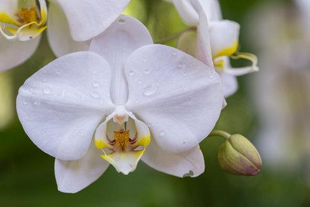 Orchid flowers in the garden. Phalaenopsis Orchidaceae. Stok Fotoğraf - 160331540
