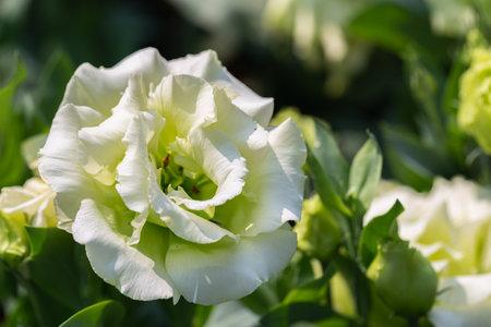 Beautiful Lisianthus flowers in the garden Stok Fotoğraf
