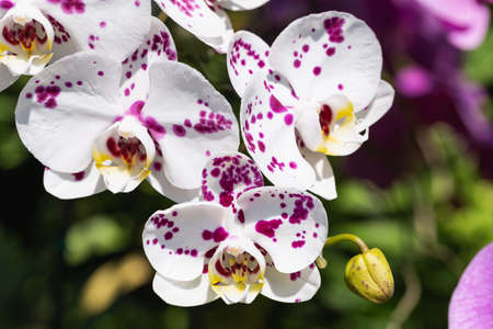 Orchid flowers in the garden. Phalaenopsis Orchidaceae.