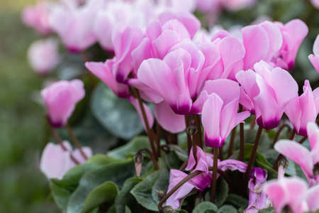 Cyclamen flower in the garden at sunny summer or spring day