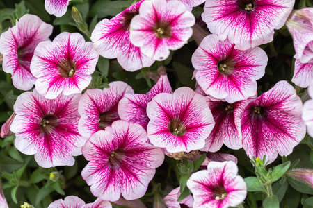 Petunia flower in the garden at sunny summer or spring day