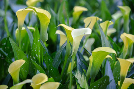 Bouquet of yellow Calla Lilies (zantedeschia) in the garden.