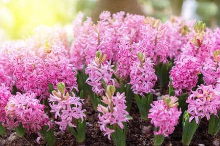 Close up on pink hyacinth flower in spring day Stok Fotoğraf