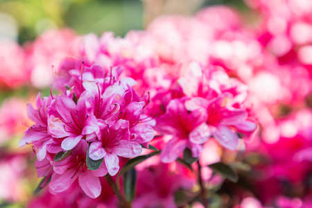 Close up on blooming pink rhododendron flower in spring day Stok Fotoğraf