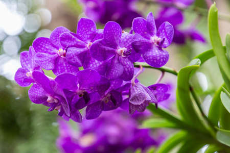 Beautiful orchid flower blooming at rainy season. Vanda orchidaceae