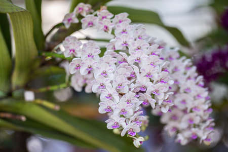Beautiful orchid flower blooming at rainy season. Rhynchostylis Orchidaceae