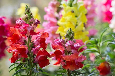 Beautiful Antirrhinum majus or Snapdragon flowers is blooming in the garden