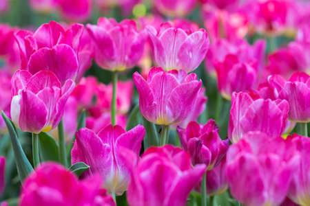 Fresh colorful tulip flowers in the garden at spring day