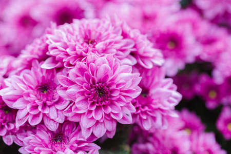 Pink Chrysanthemums flower in the garden at spring day