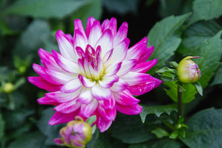 Dahlia flower in the garden at spring day Stok Fotoğraf