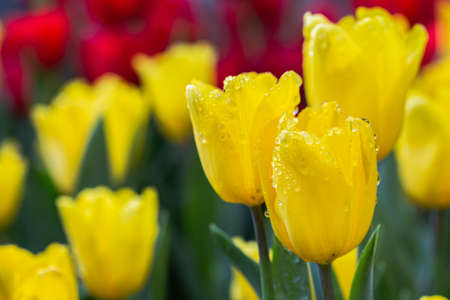 Fresh colorful tulip flowers in the garden at spring day Stok Fotoğraf - 164048779