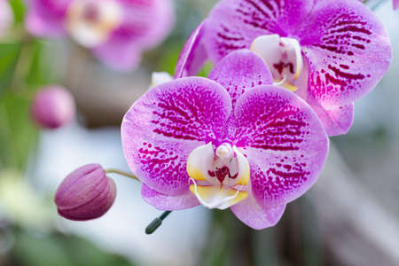 Orchid flowers in the garden. Phalaenopsis Orchidaceae