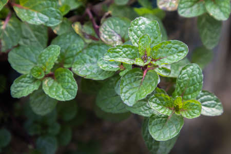 Mint leaves plant grow in organic vegetable garden Stok Fotoğraf