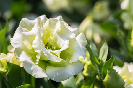 Beautiful lisianthus flowers blooming in garden at spring day Stok Fotoğraf