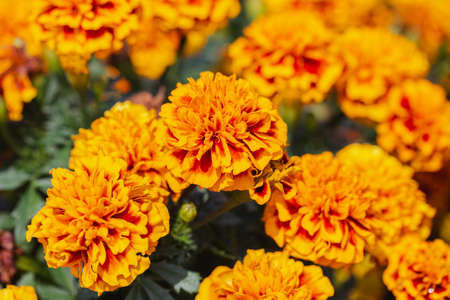 Tagetes patula flower in the garden at spring day