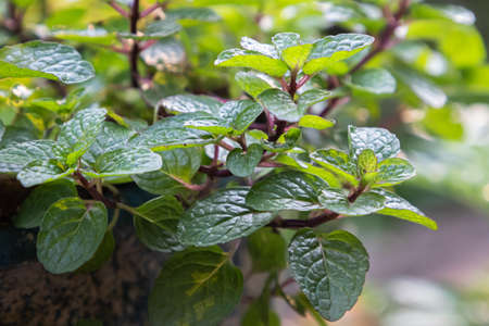 Fresh green mint leaves in vegetable garden
