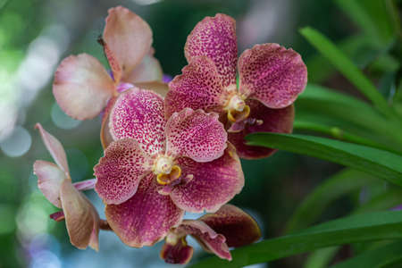 Orchid flower in orchid garden at winter or spring day. Vanda Orchidaceae Stok Fotoğraf
