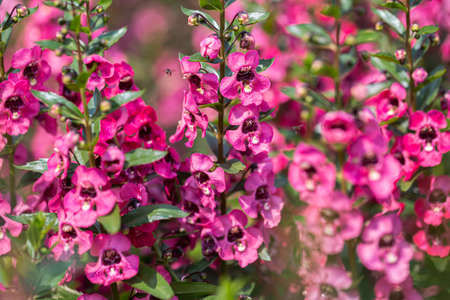 Angelonia Serena flower in the garden at sunny summer or spring day Stok Fotoğraf
