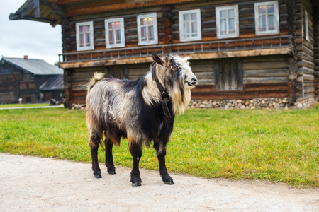 home  life: Goat on a wooden background old house Stock Photo