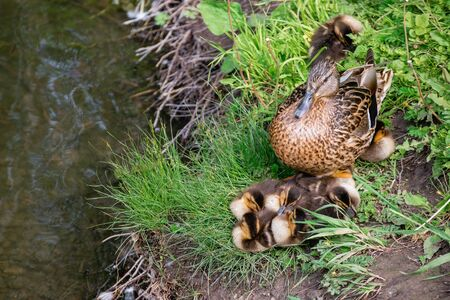 Duck with ducklings in the grass