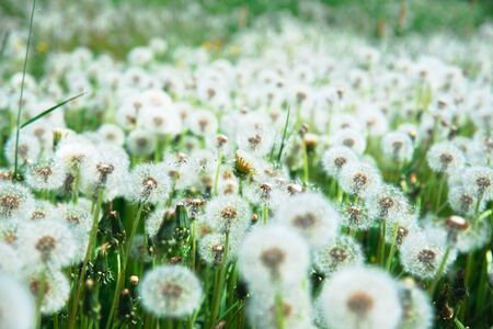field with dandelions with a shallow depth of field