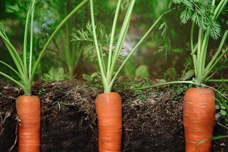 carrots in the soil at shallow depth of field