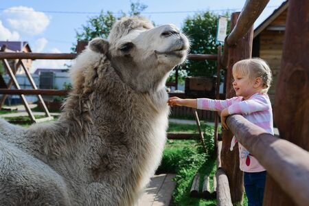 girl touches a camel in a contact zoo