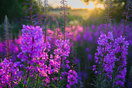 wild healthy and beautiful in the field of grass ivan tea at dawn
