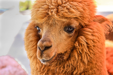 inquisitively: Closeup image of Brown Alpaca head in the farm Stock Photo