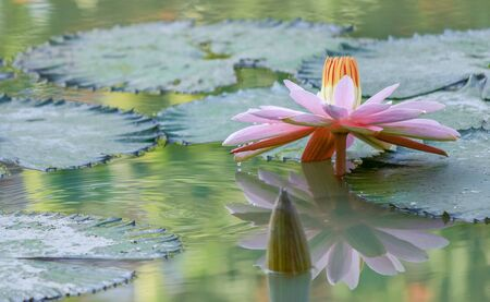 lotus blossom and water ripples in the morning