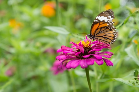 Butterfly and  pink flower on green leaf background Stock Photo