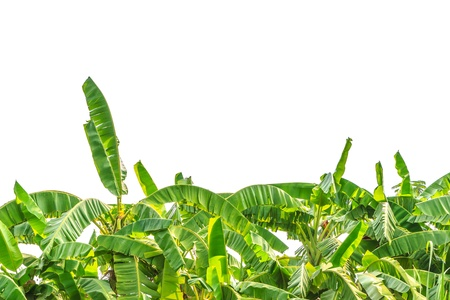 Green banana tree leafs isolated on white