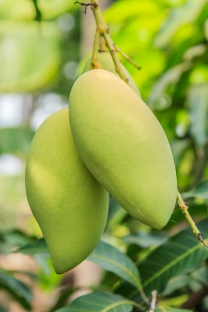 mango tree: Mango on the tree in the gardent