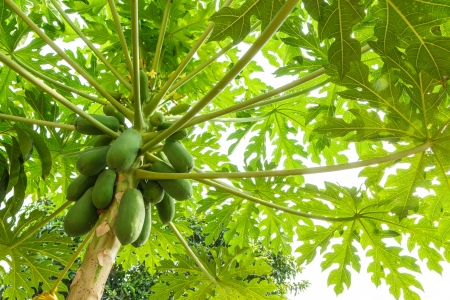 papaya on the papaya tree photo