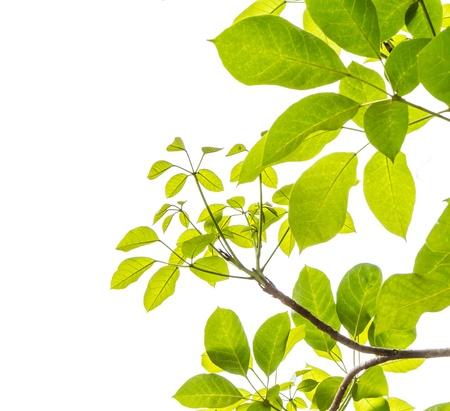 green leaf frame isolate on white Stock Photo