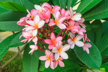 red Frangipani flowers and green leaf Stock Photo