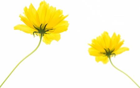 yellow flowers isolated on white background photo