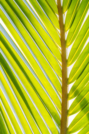 Palm leaves texture on white background