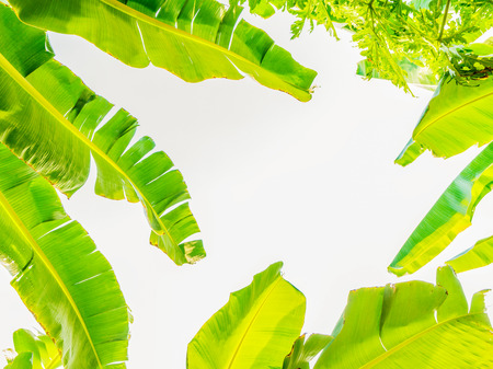 Banana leaf on a white background and space for text