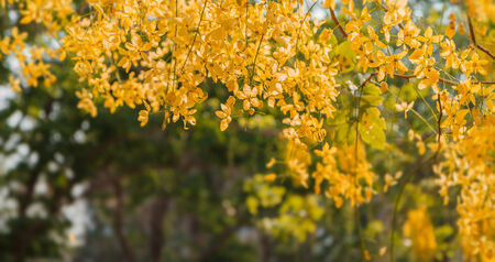 Golden Shower flowers bloom in summer
