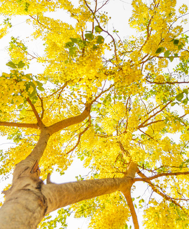 Fabaceae: golden shower flower tree on white background