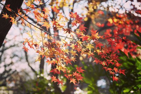 Close up view of maple leaves growing on the tree
