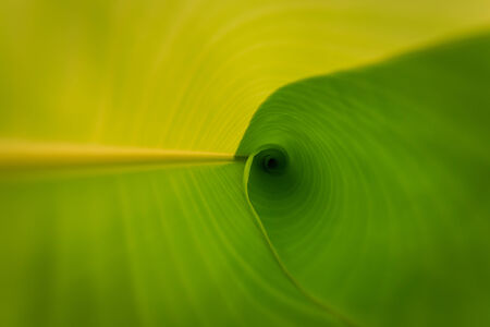 Texture of banana leaf  Stock Photo