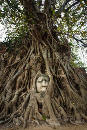 The head of the sandstone buddha image in roots of tree photo