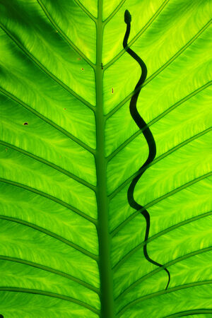 Snakes on a green leaf photo