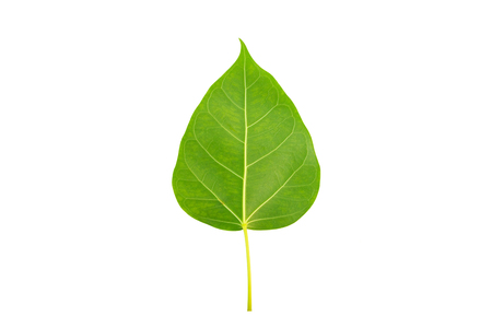 peepal tree: Green bodhi leaf on white background
